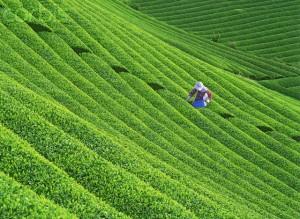Japan - Agriculture - Tea Field
