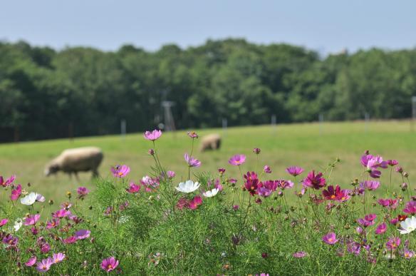 Mouton - Hokkaido